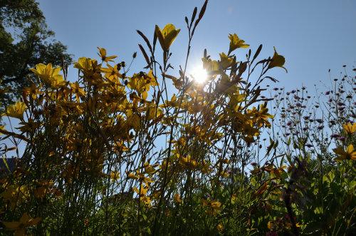 Blumen im Gegenlicht; botanischer Garten Helsinki