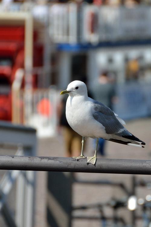 eine Seemöwe auf einem Geländer in Helsinki
