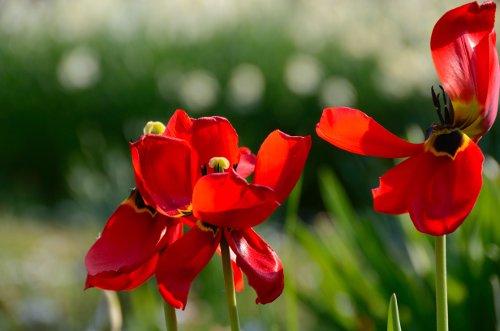 verblühte rote Tulpen